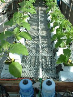 You can grow Eggplants through Hydroponic method. Click image to see how...