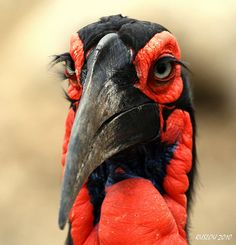 Southern Ground-Hornbill (Bucorvus leadbeateri) This bird has quite an amazing face :)