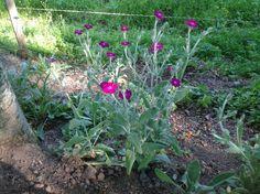 Mina purpurklätt blommar fint vid hästhagen, de har spridit sej och finns på flera ställen. De blommar andra året så det gäller att spara småplantorna.