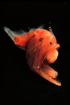 criatura abisal--deep sea fish/this fish is one of many fish called angler fish ~~~ Weird Sea Creatures, Ocean Creatures, Underwater Creatures, Underwater Life, Scary Fish, Fauna Marina, Life Under The Sea, Water Animals, Bizarre