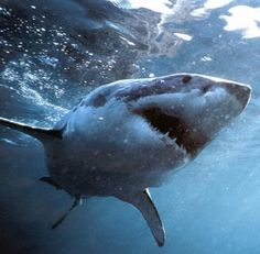 Volunteer Work with Great White Sharks in South Africa | Shark Conservation Program