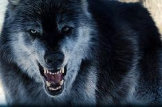Alpha Female Wolf - Bing images
