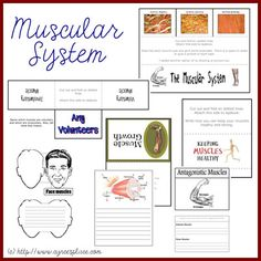 FREE muscular system lapbook