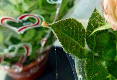 Jardim da Terra: COMO CULTIVAR: Praga de roseiras Terra, Plant Leaves, Stuffed Peppers, Vegetables, Plants, Gardening Tips, Rose Trees, Vegetable Gardening, Take Care