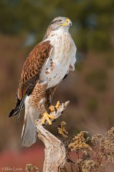 Ferruginous Hawk, light morph (Buteo regalis) - endemic to the interior parts of North America. Pretty Birds, Beautiful Birds, Animals Beautiful, Exotic Birds, Colorful Birds, Animal Original, Hawk Bird, Big Bird, Bird Pictures