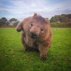 Sumo Wombat Hang on! Never underestimate the wombat guita. Animals And Pets, Baby Animals, Funny Animals, Cute Animals, Animal 2, Mundo Animal, Beautiful Creatures, Animals Beautiful, Cute Wombat