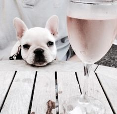 """..another Rosé dad?....how typical"", French Bulldog Puppy"