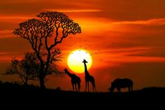 animals birds dawn giraffe giraffes landscape nature outdoors rhino safari savannah silhouette sun sunset trees wild animal wilderness wildlife wallpaper and background Hd Wallpapers For Laptop, Laptop Wallpaper, Tier Wallpaper, Nature Wallpaper, Wildlife Wallpaper, Animal Wallpaper, Wallpaper Ideas, African Sunset, Silhouette Photography