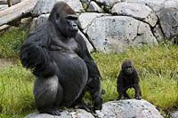 San Diego Zoo's Animal Bytes: Gorilla