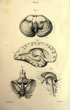 1846. Pl. 93. Antique anatomy engraving. Cerebellum. Brain. Dessin Jean-Baptiste Léveillé. Gravure : Davesne.