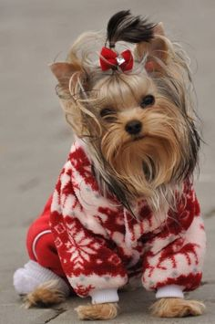 I have had the pleasure of 3 Yorkies  in my life...all beloved...RIP...ROSIE, ROSIE11, and RUSTY CHRISTOPHER.