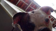 [Cão] Boxer Alemão Branco [Dog] SP Photo by Carlos Campos #008