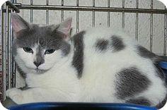 Henderson, NC - Domestic Shorthair. Meet Libra a Kitten for Adoption.