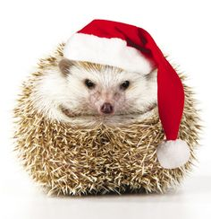 The Royal Marsden @royalmarsden  hedgehog Christmas card - see the top 50 charity Christmas cards here! http://www.charitychoice.co.uk/blog/50-great-charity-christmas-cards/167