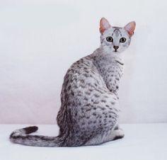 Egyptian Mau.