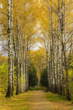 Very few things in life can claim to be more poetic in it´s beauty then the subtle beauty of Autumn and proud birch trees.