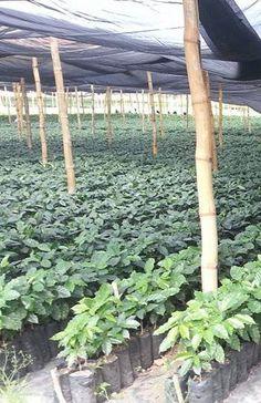Coffee plants. Coffee nursery in Honduras