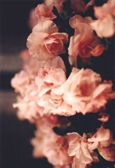 Soft, delicate pink roses...
