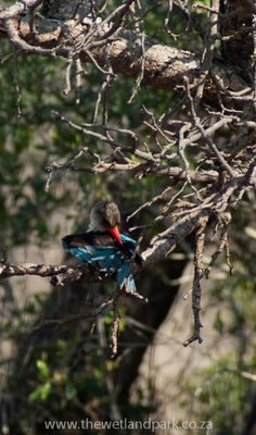 Brown headed kingfisher dries his wings off after the first rains - KwaZulu Natal