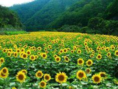 兵庫県佐用町では、6つの地区でひまわりを栽培。 時期になれば、どこでも黄色いじゅうたんを望めます。