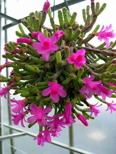 Hatiora herminiae is a very rare epiphytic cactus, forming erect shrubs, sometimes arching over. It looks a lot like Hatiora salicornioides and also grows..