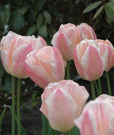 Tulip, Sugar Love. Displays a splendid color change in the garden. It starts with solid pink buds that become apricot with white edges and rose borders.