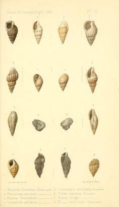 t 12 (1864) - Journal de conchyliologie. - Biodiversity Heritage Library