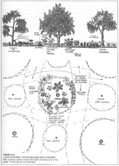 Permaculture - The Apple Guild (would work for pears too)