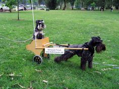 standard schnauzer pulling a cart , this is absolutely adorable ❤️