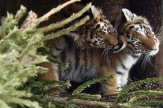 Due cuccioli di tigre siberiana