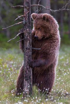 Красивый мишка с фотоконкурса дикая природа России 2015