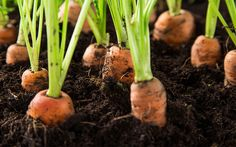carrots-in-soil-grow-your-own-harvest