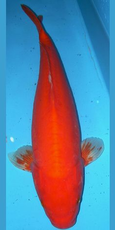 1000 images about koi on pinterest koi fish pond for Red koi fish
