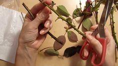 Trei variante de inmultire a trandafirilor prin butasi in ghiveci in dec... Apple Seeds, Apple Tree, Home And Garden, Herbs, Gardening, Garden Ideas, Roses, Youtube, Outdoor