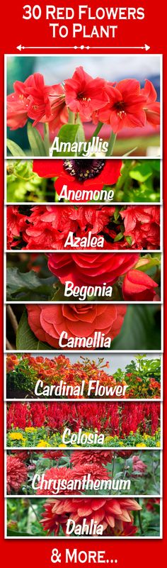 Want to plant red flowers? Here's a list of red flowers to plant in your garden, yard and landscape. Click to learn more!