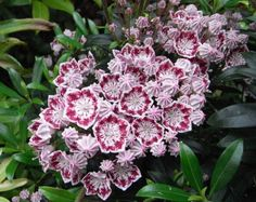 Kalmia latifolia 'Minuet' - another colorful shrub for a partially shady spot