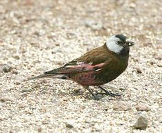 Gray-crowned (Hepburn's) Rosy-finch