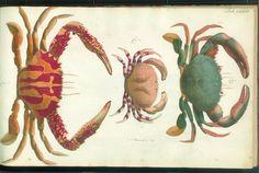Herbst Crabs & Lobsters Plate XXXVIII