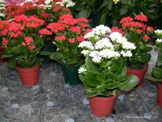 Kalanchoe Blossfeldiana - Sun-ps e/green, blooms winter-spring, Drier Well Drained Soil, Indoor Flowers, Flower Planters, Indoor Plants, Flower Pots, Kalanchoe Blossfeldiana, Exotic Plants, Tropical Plants, Easy Care Plants, Blooming Plants