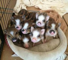 Welcome to Charming Mini Pigs! We are an AMPA Registered breeder of mini pigs and pet pigs. We have mini pigs for sale in a variety of sizes, colors, and breeds. Cute Baby Animals, Animals And Pets, Funny Animals, Farm Animals, Cute Baby Pigs, Miniature Pigs, Teacup Pigs, Cute Piggies, Pet Pigs