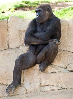 I feel incredible sadness when primates Are in enclosures They do not Seemhappy ! Nature Animals, Animals And Pets, Baby Animals, Funny Animals, Cute Animals, Primates, Mammals, Beautiful Creatures, Animals Beautiful