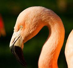 Flamingo - Flamingo belle