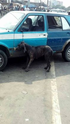 Dog Killed In Port-Harcourt After Transforming From A Man Allegedly, Rivers, Drama, Vans, Dog, Photos, Vehicles, Car Ins, Diy Dog