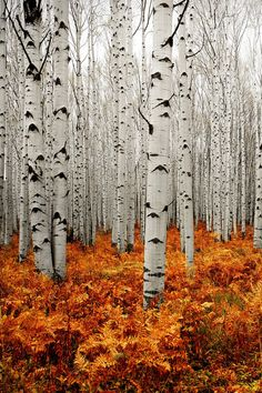 porcvpine:  Aspen Forest | Chad Galloway