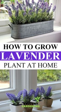 Here we go on how to grow the lavender plant in our homes.We often come across the benefits of Lavender, growing this wonderful healing plant in your home. Lavender Plant Care, Potted Lavender, Lavendar Plant Indoor, Planting Lavender, Outdoor Plants, Garden Plants, House Plants, Veg Garden, Lavender Benefits