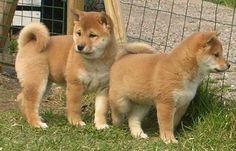 Cute Red Shiba Inu puppies.