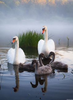 We don't resharing any photos here from other communities. Any member can publish 5 photo in a day and we publish animals photos only Beautiful Swan, Beautiful Birds, Animals Beautiful, Animals And Pets, Baby Animals, Cute Animals, Pretty Birds, Love Birds, Swans