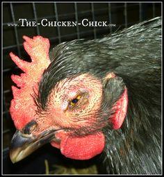 Backyard Chickens & Avian Influenza: What to Do About Bird Flu