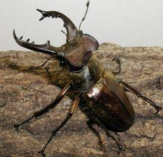 Miyama stag beetle (male)
