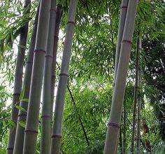 "Blue Bamboo - Phyllostachys nigra 'Henon' - 4"""" Pot - Easy to Grow - Indoors/Out"